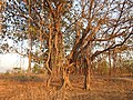 Banyan Tree Ficus benghalensis by Dr. Raju Kasambe DSCN9597 (7).jpg