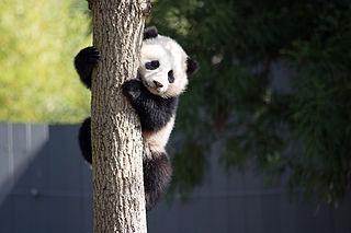 Bao Bao female giant panda