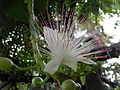 Barringtonia asiatica - full bloom.JPG