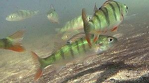 Junge Flussbarsche (Perca fluviatilis), Unterwasseraufnahme aus dem Großen Klobichsee ca. 60 km östlich von Berlin.