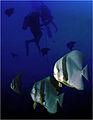 Batfish at masiwa.jpg