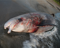 Beached Cuvier's Beaked Whale 2.png