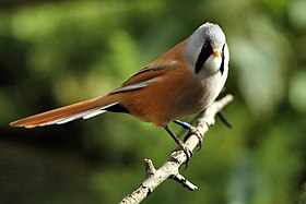 Bearded Tit - Newquay Zoo (15481826926).jpg