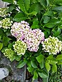 Beautiful hydrangea flower.jpg