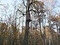 Bee-tree Kaloda 8.JPG