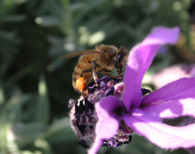 Bee on a Lavender flower (Photo by TTaylor)