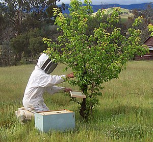 Beekeeping in the United States - A beekeeper collecting a bee swarm. If the queen can be swept to the frame and placed into the hive the remaining bees will follow her scent.