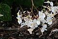 Begonia odorata Alba 0zz.jpg