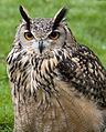 Bengal Eagle Owl (4570462553).jpg