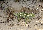 Benny Trapp Chamaeleo africanus sitzt auf fertigem Nest.jpg