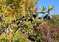 Berberis sanguinea - Quarryhill Botanical Garden - DSC03272.JPG