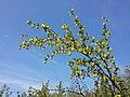 Berberis vulgaris sl3.jpg