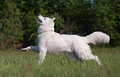 Berger Blanc Suisse7.png