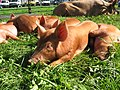 Berkeley Show 2010, Tamworth Piglets. - panoramio.jpg