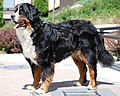 Bernese Mountain DOg2.jpg