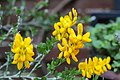 Besenginster (Cytisus scoparius) - Flickr - blumenbiene.jpg