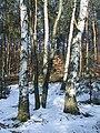 Betula obscura 2.jpg