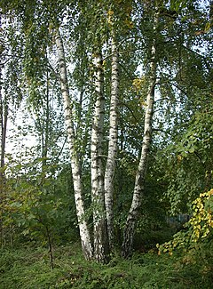 Betula pendula - Friedrichsthal-Bildstock-FMT - 20101001-01