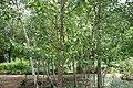 Betula platyphylla var. japonica 3zz.jpg