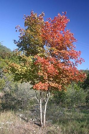National symbols of Canada - Image: Bi colored Maple Tree