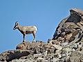 Big Horn on Santa Rosa Mountain 3-15b (16754896672).jpg