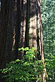 Big sequoia trunk past leaves.jpg