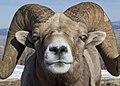 Bighorn Lostin 1 myatt odfw (7591226262).jpg