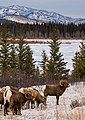 Bighorn Sheep near the Athabasca River.jpg
