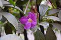 Bignonia magnifica (6833362408).jpg