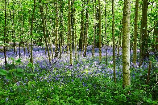 Bisham Woods (27165847935)