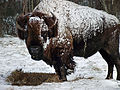 Bison in the Snow (8540353452).jpg