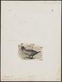 Biziura lobata - 1700-1880 - Print - Iconographia Zoologica - Special Collections University of Amsterdam - UBA01 IZ17700155.tif