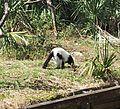 Black-and-white ruffed lemur (Varecia variegata) at Jacksonville Zoo in Jacksonville, Florida.jpg