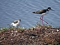 Black-necked Stilt (36548496695).jpg