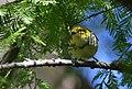 Black-throated Green Warbler gets a yummy (37773218002).jpg