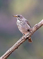 Black-throated Thrush Feamle (32937237073).jpg