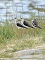 Black-winged Stilt (Himantopus himantopus) (48660035746).jpg