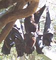 Black Flying-foxes.JPG
