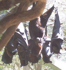 Black Flying-foxes.JPG