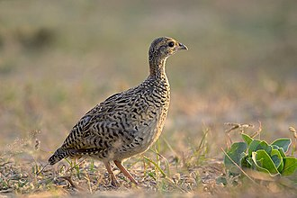 Black francolin - Black Francoline Female