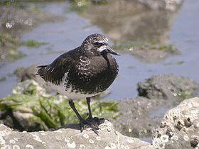 Black Turnstone, breeding plumage (2112366200).jpg