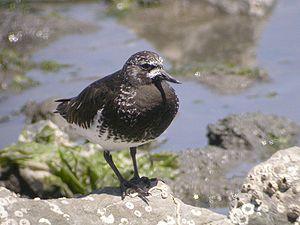 Black Turnstone, breeding plumage (2112366200).jpg
