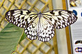 Black and White butterfly (5865169723).jpg