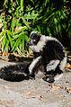 Black and white Ruffed Lemur (22352312220).jpg