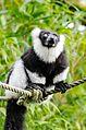 Black and white Ruffed Lemur (22383460999).jpg