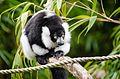 Black and white Ruffed Lemur (22601405825).jpg