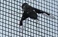 Black bee-fly (4210198102).jpg