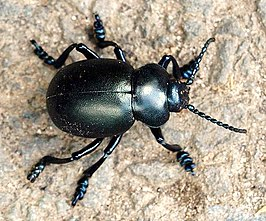 Bloody-nosed beetle, Batworthy - geograph.org.uk - 1469366.jpg