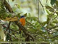 Blue-capped Rock-thrush (Monticola cinclorhyncha) (37564935502).jpg