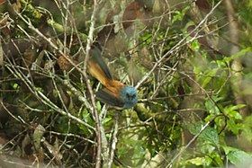 Blue-headed Fantail - Luzon - Philippines H8O0002 (18809090413).jpg
